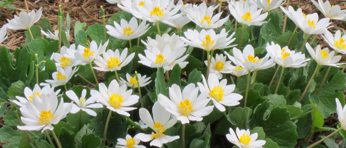Use the Bloodroot Herb